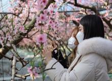 [경산]복숭아 고장 경산, 봄 전령사 복사꽃 만발