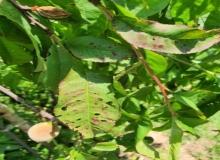 [경산]복숭아 세균구멍병 방제 비상